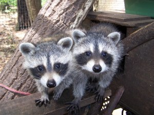 Raccoon_twins